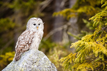 The Ural Owl or Strix uralensis on the rock photo