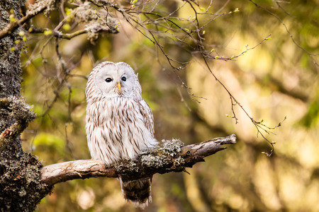 The Ural Owl or Strix uralensis on the rock photo