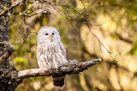 ural owl: The Ural Owl or Strix uralensis on the rock