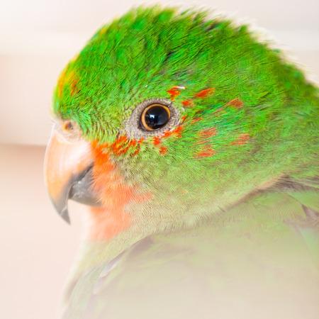 Portrait of The Australian King Parrot aka muaiz or Alisterus scapularis Stock Photo