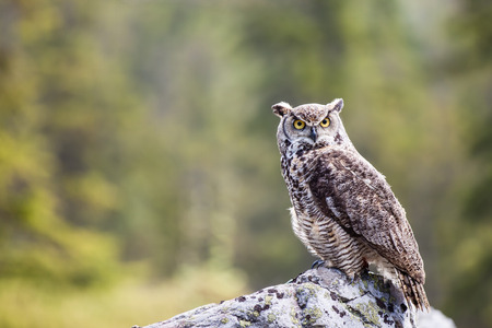 The Great Horned Owl or Bubo virginianus on the rock