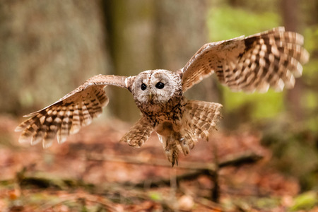 night owl: Tawny Owl Or Strix aluco flying