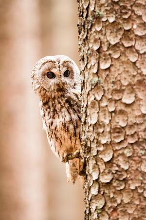 Tawny Owl or Strix aluco on the tree photo