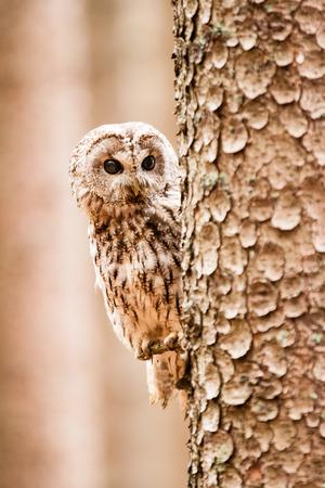Tawny Owl or Strix aluco on the tree photo