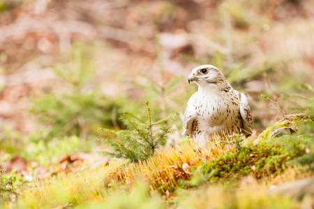The Gyrfalcon or Falco rusticolus on the grass photo