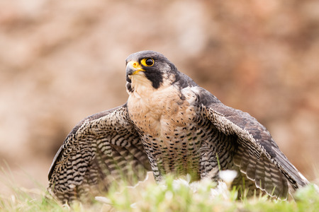 falco peregrinus: Peregrine bird with his death meat Stock Photo