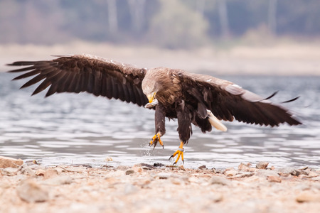 Flying Sea eagle over the water photo