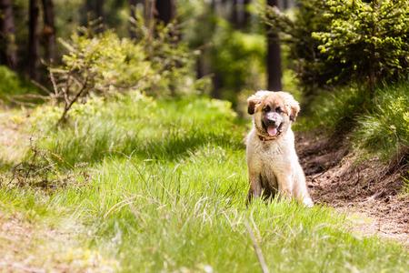 cara leon: Cachorro de perro de Leonberger sentado en la hierba