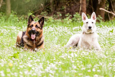 german swiss: German shepherd dog with White Swiss Shepherd on daisy