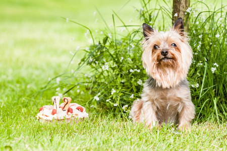 hist: Yorkshire terrier dog with cake on hist birth days