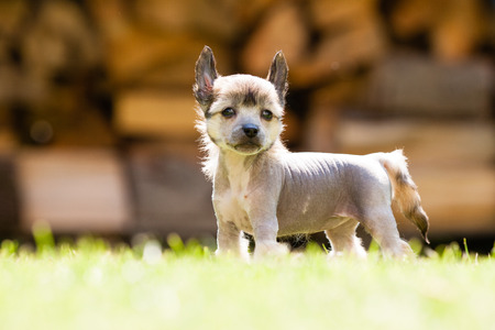 Puppy of Chinese crested dog standing photo