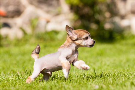Puppy of Chinese crested dog running Stock Photo - 30604093