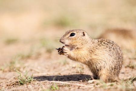 Gopher eating his nutt and watching photo