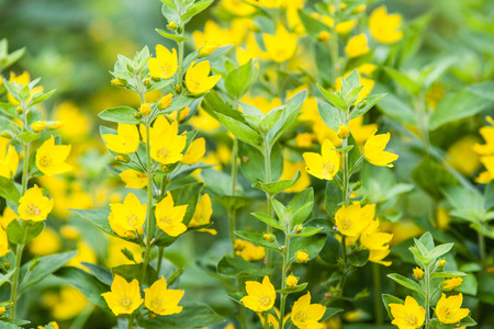 punctuate: Yellow Lysimachia punctata with blurry background