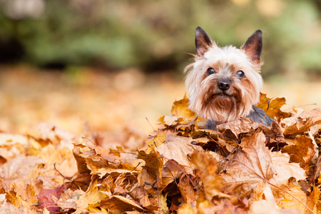 pumpkin leaves: Yorkshire Dog on the autumn leaves