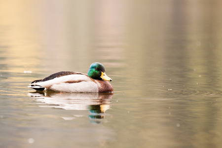 Duck on water in czech republic on the devils lake photo