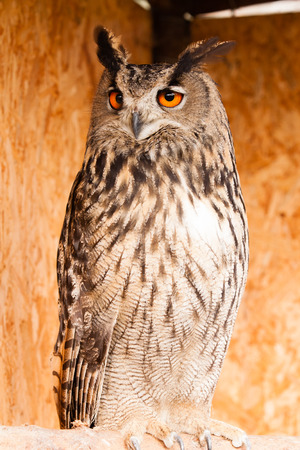 tawny owl: Eagle owl sitting and staring watching something