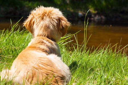 mutt: Mutt of Irish Setter and the Swiss Shepherd brown gold colored on the green grass and river background Stock Photo
