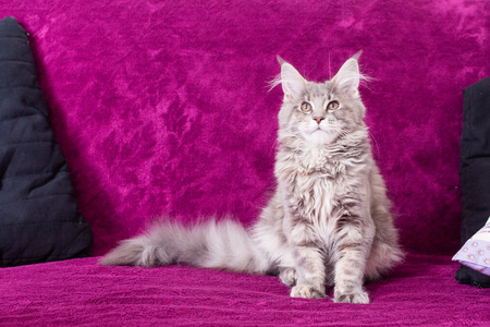 pampered: Young Maine Coon cat on the blanket purple colour with pillow lying sitting and posing. White gray and white brown