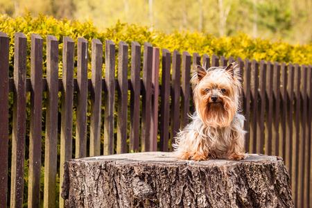 petites fleurs: Old Yorkshire terrier Dogon la vieille souche avec une cl�ture en bois brun fond