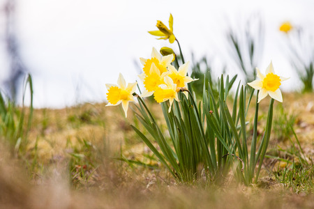 dry leaves: Yellow narcissus with green leaves and dry grass background