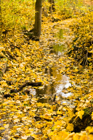 autumn colour: Autumn small river covered with many fall leaves in yellow warm colour
