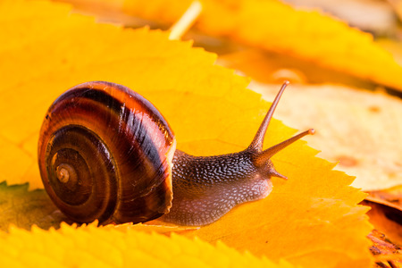 grape snail: Autumn snail photo with warm temperature colours yellow orange