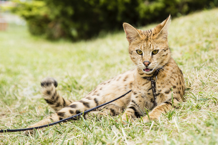 savannah cat on rope in green grass with tounght