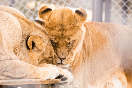 Old Lions in cage forever with love to each other in Zoo