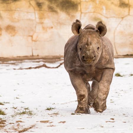 Rhinoceros - Diceros bicornis on the snow in winter running to photographer