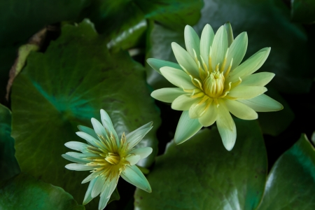 Lotus as the white color photo