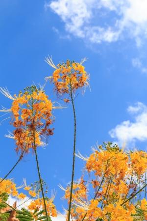 Yellow peacock flower on blue sky and sun shine Stock Photo - 18653374