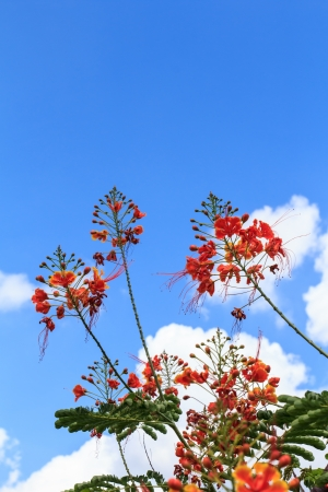 Orange peacock flower on blue sky and sun shine Stock Photo - 18653366