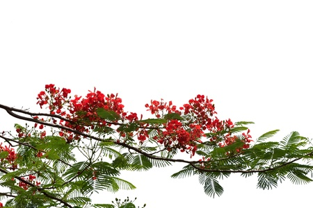 flamboyant: Red peacock flowers isolated with white background Stock Photo