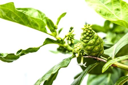 great morinda: Great morinda or Indian mulberry and green leaf