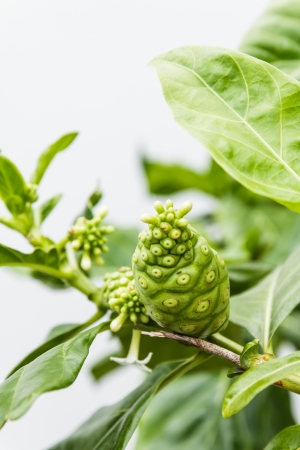 great morinda: Great morinda or Indian mulberry and green leaf