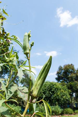 green ridge: Green ridge gourd in the garden