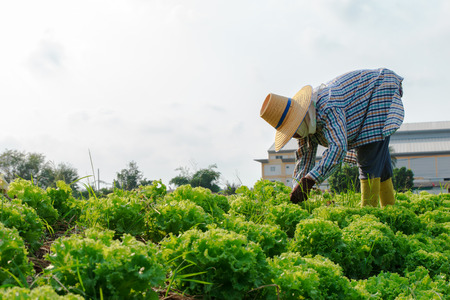 Thai rural farmers working on the Vegetables field