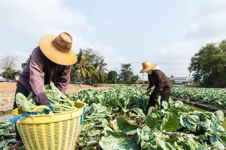 中国ブロッコリーのフィールドで働いてタイ農村部の農民