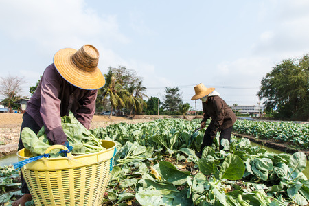 Thai rural farmers working at the Chinese Broccoli field Standard-Bild