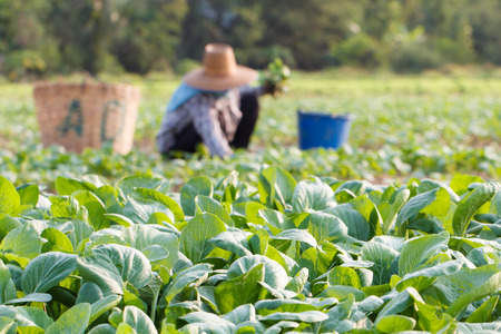 Vegetables field with rural farmer working background Stock Photo
