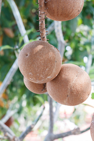 panicle: The fruit panicle of Cannonball tree Stock Photo