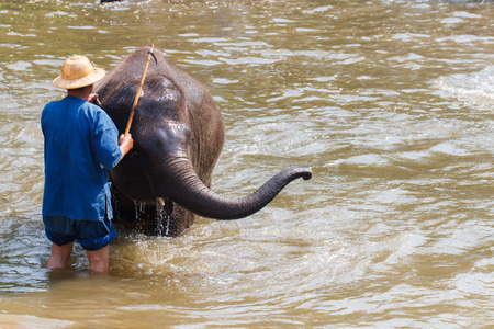 mahout: Mahout bath and clean the elephants in the the river in Lampang, Thailand