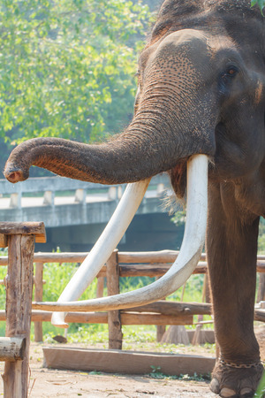 mahout: Close-up of Elephants ivory, Thailand-3