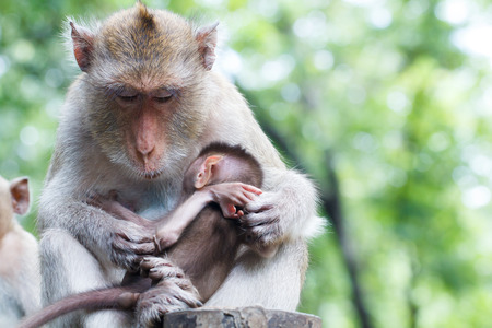 simian: Monkey mother with baby sleeping in hand
