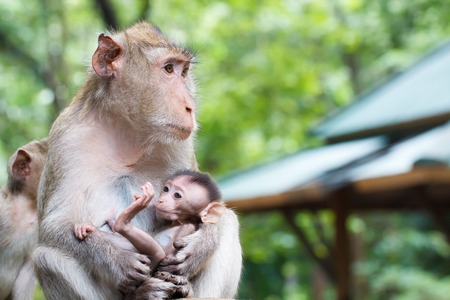 breastfeed: Mother monkey and baby eating milk