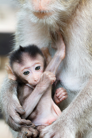 breastfeed: Close up of baby monkey in hand mother