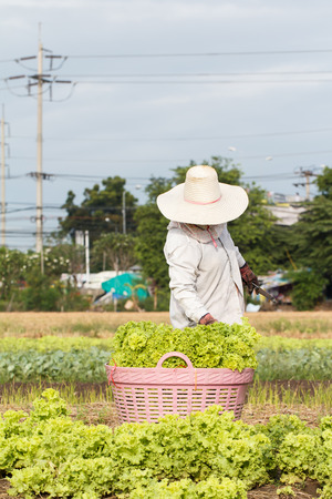 Woman rural farmer working on the vegetable field, Thailand Zdjęcie Seryjne
