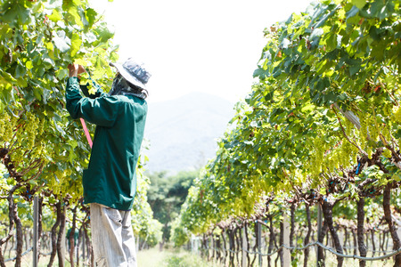 wine grower: Worker work in vineyard or grape field on daytime-2 Stock Photo