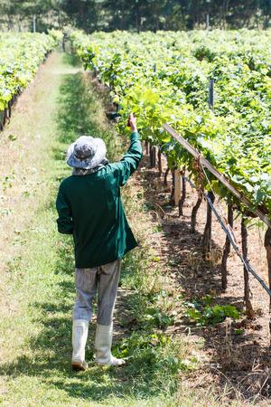 grape field: Worker work in vineyard or grape field on daytime Stock Photo